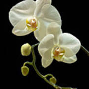 White Orchid On Black Background Art Print