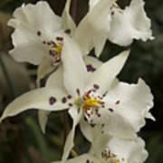 White Orchids 2 Art Print