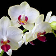 White Orchids Print by Garry Gay