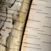 White Paper Birch Tree Bark Art Print