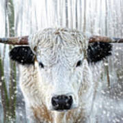 White Park Cattle In The Snow Art Print
