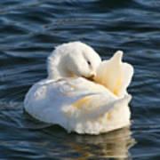 White Pekin Duck In Blue Water Preening Art Print