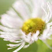 White Petal Flower Abstract Art Print