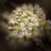 White Plum Blossom- 2 Art Print
