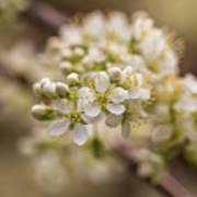 White Plum Blossom Art Print