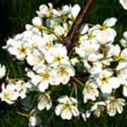 White Plum Blossoms Art Print