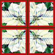 White Poinsettia Quartet Art Print