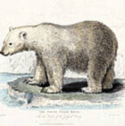 White Polar Bear On Ice Floe Art Print