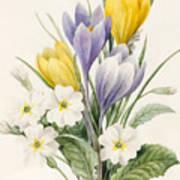 White Primroses And Early Hybrid Crocuses Art Print
