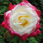 White Red Rose Art Print