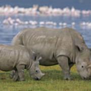 White Rhino Mother And Calf Grazing Art Print by Ingo Arndt