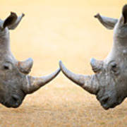 White Rhinoceros  Head To Head Art Print