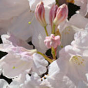White Rhodies Pink Rhododendrons Flowers Art Prints Canvas Botanical Baslee Troutman Art Print