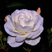White Rose 006 Art Print