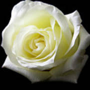 White Rose-11 Art Print