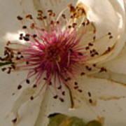 White Rose Centerpiece Art Print