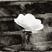 White Rose In Black And White Art Print