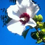 White Rose Of Sharon Hanging Out In The Sky Art Print