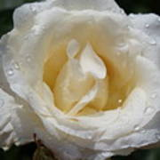 White Rose With Dew Drops Art Print