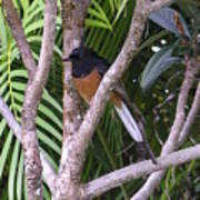 White Rumped Shama Art Print