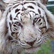 White Siberian Tiger Art Print