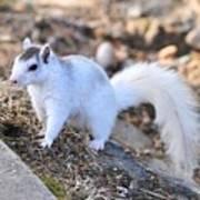 White Squirrel Art Print