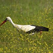 White Stork Looking Fr Frogs Art Print