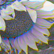 White Sunflower Art Print