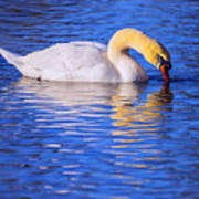 White Swan Drinking Water In A Pond Art Print