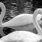 White Swans Art Print