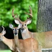 White-tailed Deer Family Art Print