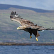 White-tailed Eagle Over Loch Art Print