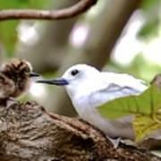 White Terns Koa And Parent...bird Love Art Print