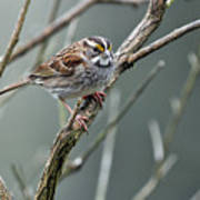 White Throated A Sparrow Art Print