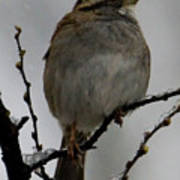 White Throated Sparrow Art Print