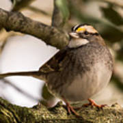 White Throated Sparrow On Branch New Jersey Art Print
