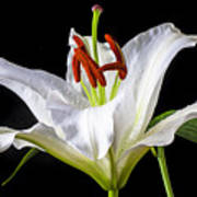 White Tiger Lily Still Life Art Print by Garry Gay