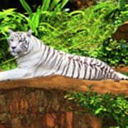 White Tiger Art Print by MotHaiBaPhoto Prints