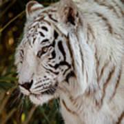 White Tiger Portrait 2 Art Print