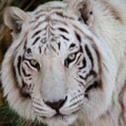 White Tiger Portrait Art Print