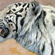White Tigress Aceo Art Print