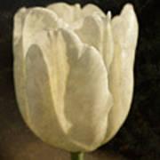 White Tulip With Texture Art Print
