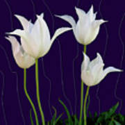 White Tulips For A New Age Art Print