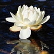 White Water Lily Art Print by Andrea Everhard