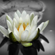 White Water Lily Black And White Art Print
