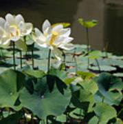 White Waterlilies Art Print