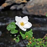 White Wild Rose In Big Thompson Canyon Art Print