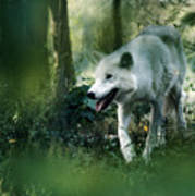 White Wolf Walking In Forest Art Print