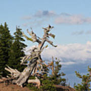 Whitebark Pine At Crater Lake's Rim - Oregon Print by Christine Till