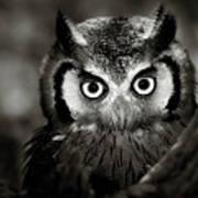 Whitefaced Owl Art Print